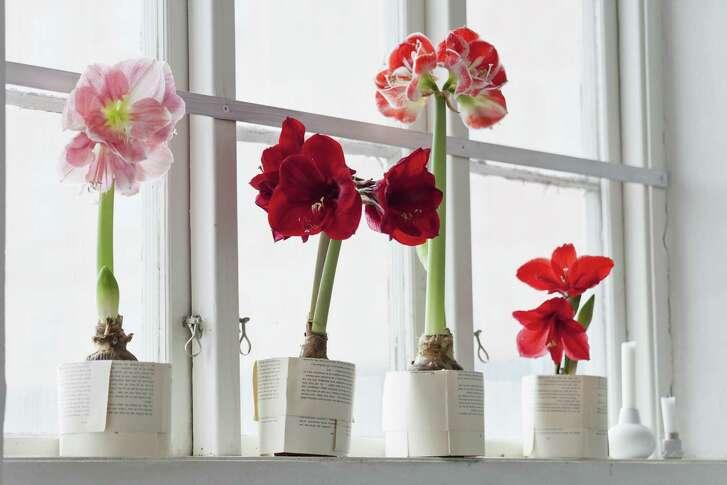 Amaryllis flowers on windowsill
