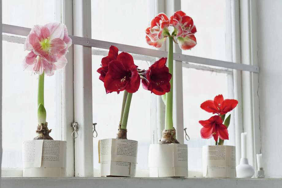 Amaryllis flowers on windowsill Photo: Johner Images /San Francisco Chronicle / Johner RF