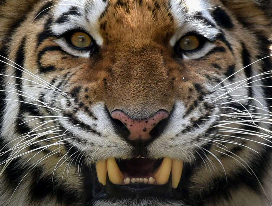Tori, a two-year-old male Siberian tiger, also known as Amur or Ussuri tiger, growls in its enclosure at a zoo in Tbilisi on November 27, 2017. Photo: VANO SHLAMOV, AFP/Getty Images