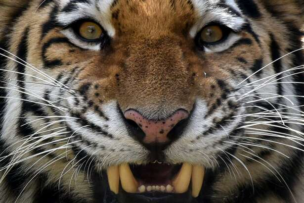 Tori, a two-year-old male Siberian tiger, also known as Amur or Ussuri tiger, growls in its enclosure at a zoo in Tbilisi on November 27, 2017. / AFP PHOTO / Vano ShlamovVANO SHLAMOV/AFP/Getty Images
