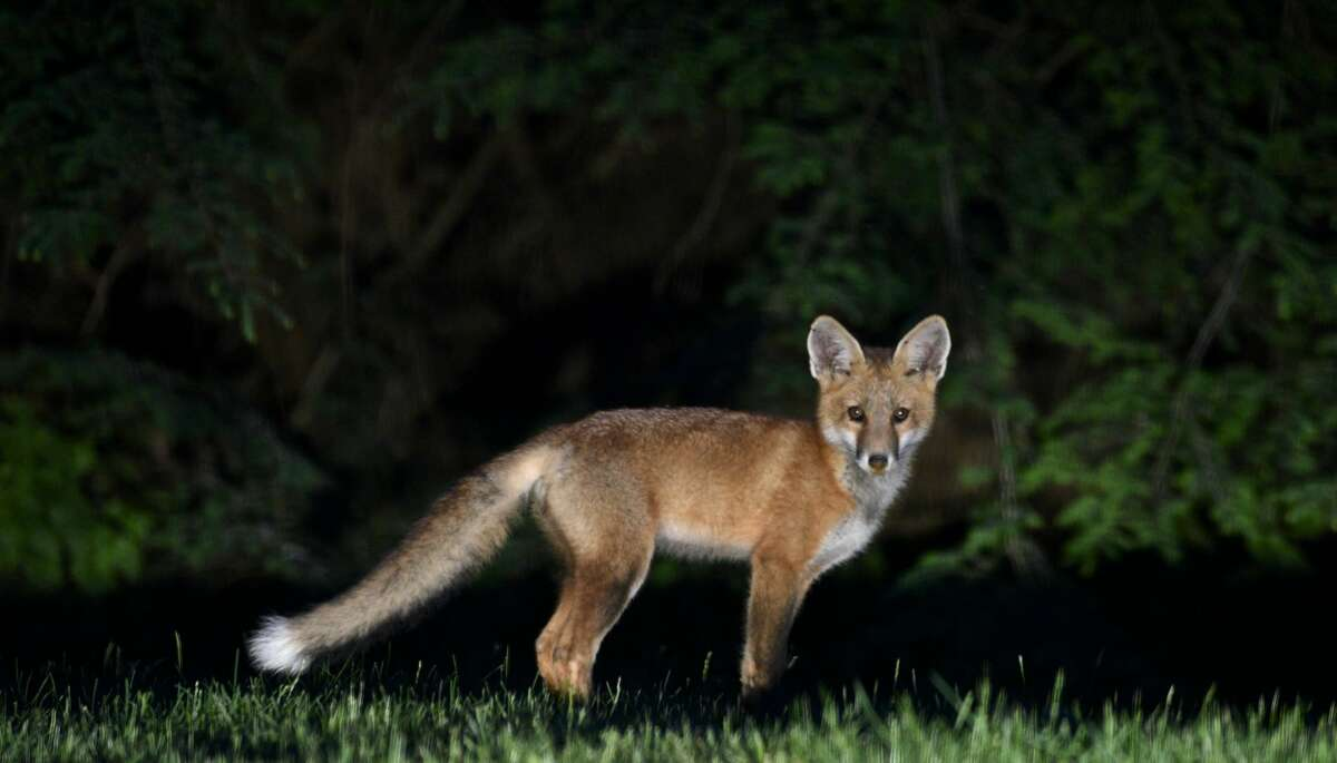 A red fox (vulpes vulpes) stands in a Bethel, Conn, back yard on Sunday night, June 11, 2017. Foxes like to hunt dawn and dusk and are prone to carrying rabies. According to DEEP, foxes frequently inhabit yards, parks and golf courses, making them used to humans, but they are still aggressive towards people. To avoid dangerous encounters with foxes, do not allow your pets to run free, specifically at night. DEEPrecommendsnever feeding foxes and to give food to your pets inside your home.