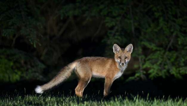 A red fox (vulpes vulpes) stands in a Bethel, Conn, back yard on Sunday night, June 11, 2017. Foxes like to hunt dawn and dusk and are prone to carrying rabies. According to DEEP, foxes frequently inhabit yards, parks and golf courses, making them used to humans, but they are still aggressive towards people.  To avoid dangerous encounters with foxes, do not allow your pets to run free, specifically at night. DEEPrecommendsnever feeding foxes and to give food to your pets inside your home.  Photo: H John Voorhees III/Hearst Connecticut Media
