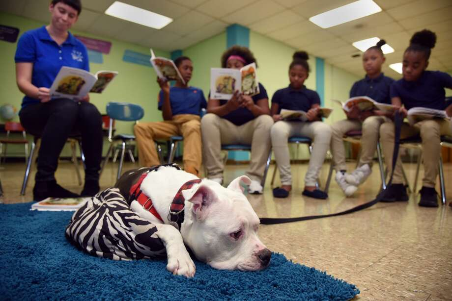Knox, a pit bull from the SPCA, listens as fifth-graders at Westport Academy Elementary/Middle School in Baltimore practice their skills by reading to him. (Barbara Haddock Taylor/Baltimore Sun/TNS) Photo: Barbara Haddock Taylor/TNS