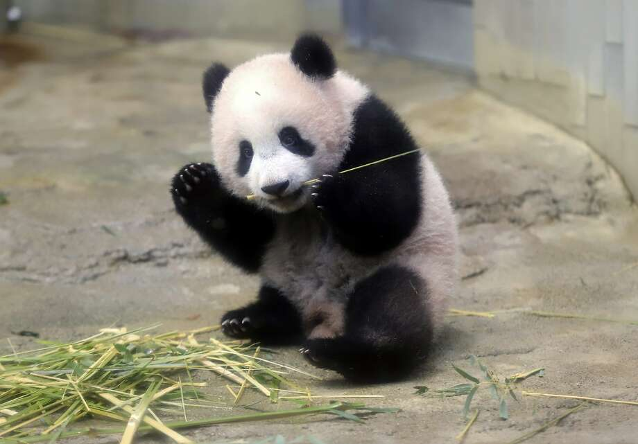Female giant panda cub Xiang Xiang eats bamboo during a press preview at the Ueno Zoological gardens in Tokyo, Monday, Dec. 18, 2017.  A baby panda made a special appearance Monday before Tokyo's governor, a group of local schoolchildren and the media one day ahead of its official public debut.  Xiang Xiang, a 6-month-old female giant panda, will debut Tuesday in a limited public viewing for avid fans who obtained tickets through a highly competitive lottery process.(Yoshikazu Tsuno/Pool Photo via AP) Photo: Yoshikazu Tsuno, Associated Press