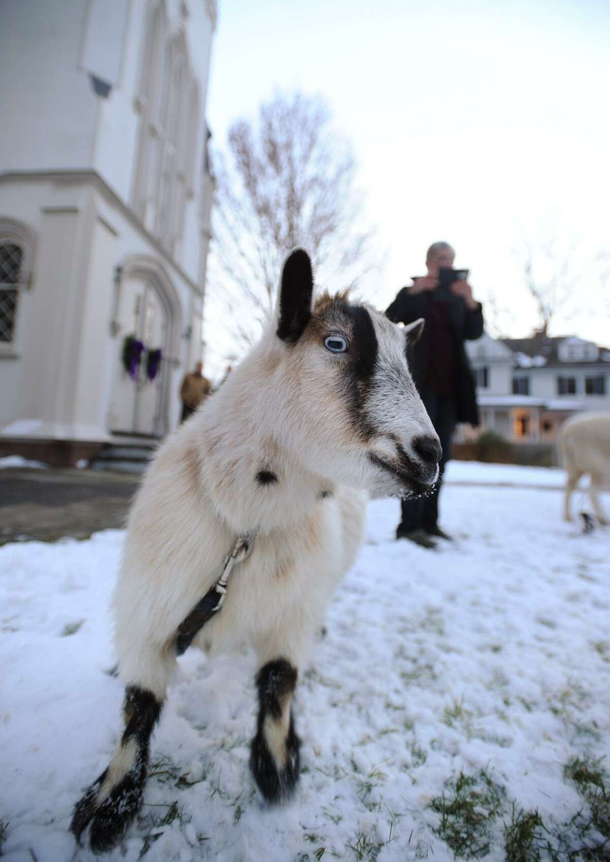 A goat waits outside Trinity Episcopal Church in the Southport section of Fairfield, Conn. for the start of the church's 93rd Annual Christmas Pageant on Sunday, December 17, 2017.