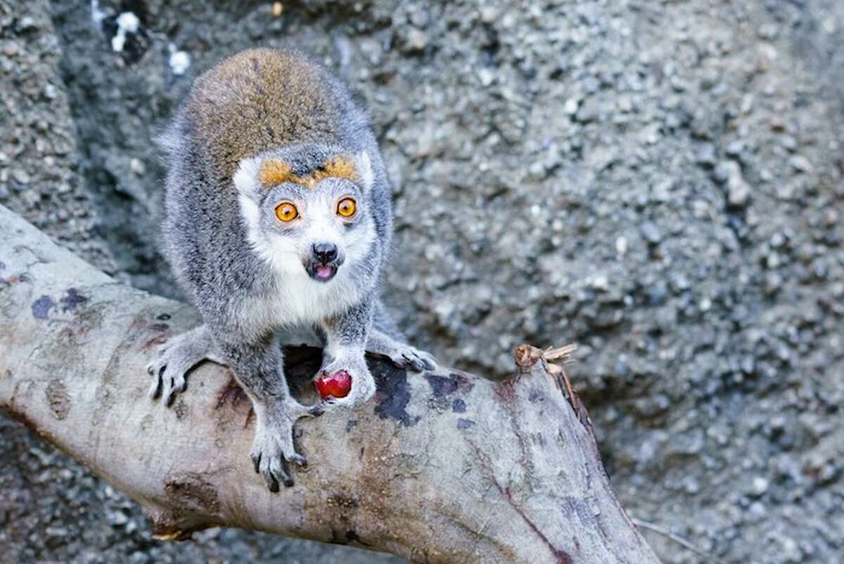 Two crowned lemurs, age 14 and 15, have found a new home at Oakland Zoo.