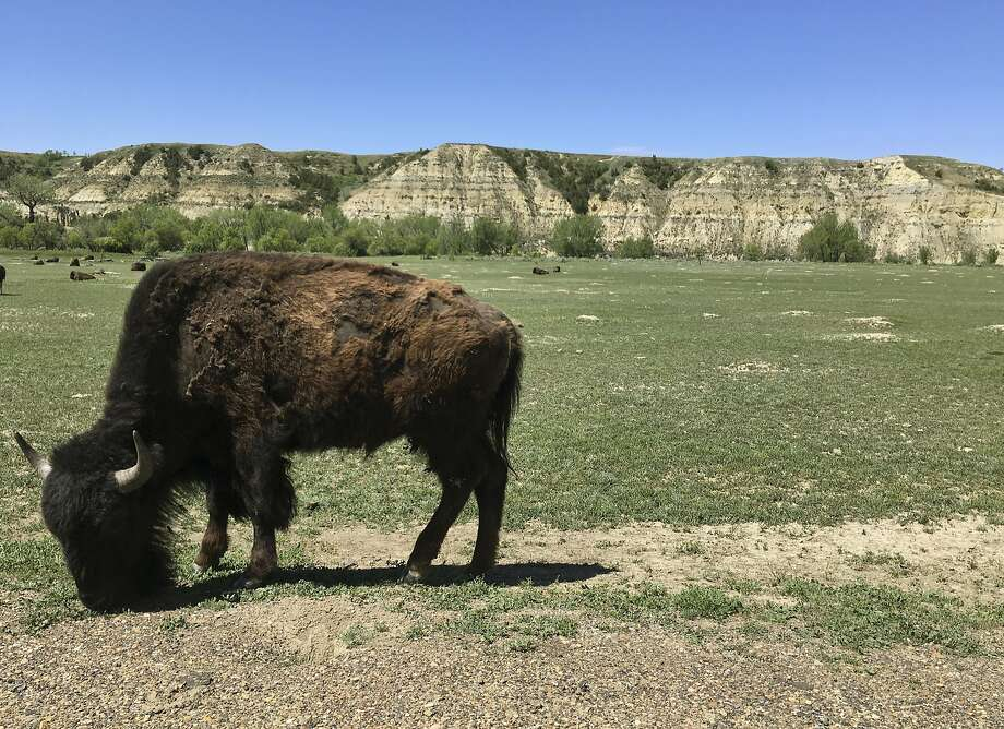 FILE - In this Wednesday, May 24, 2017 file photo, a bison munches grass in Theodore Roosevelt National Park in western North Dakota. A 72-year-old man has been charged with animal cruelty after seven starving bison were removed from a Chimacum Valley Field last month. Photo: Blake Nicholson, Associated Press