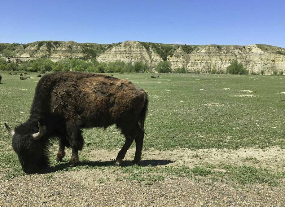 In this Wednesday, May 24, 2017 photo, a bison munches grass in Theodore Roosevelt National Park in western North Dakota. The developer of a proposed oil refinery near the picturesque National Park tells North Dakota regulators the company isn't trying to skirt state permitting law. The state Public Service Commission on Tuesday, Dec. 19, 2017, questioned Meridian Energy Group officials on why the company's listed production capacity for the Davis Refinery is just under the 50,000-barrel threshold that triggers a PSC siting review. Photo: Blake Nicholson /Associated Press / Copyright 2017 The Associated Press. All rights reserved.