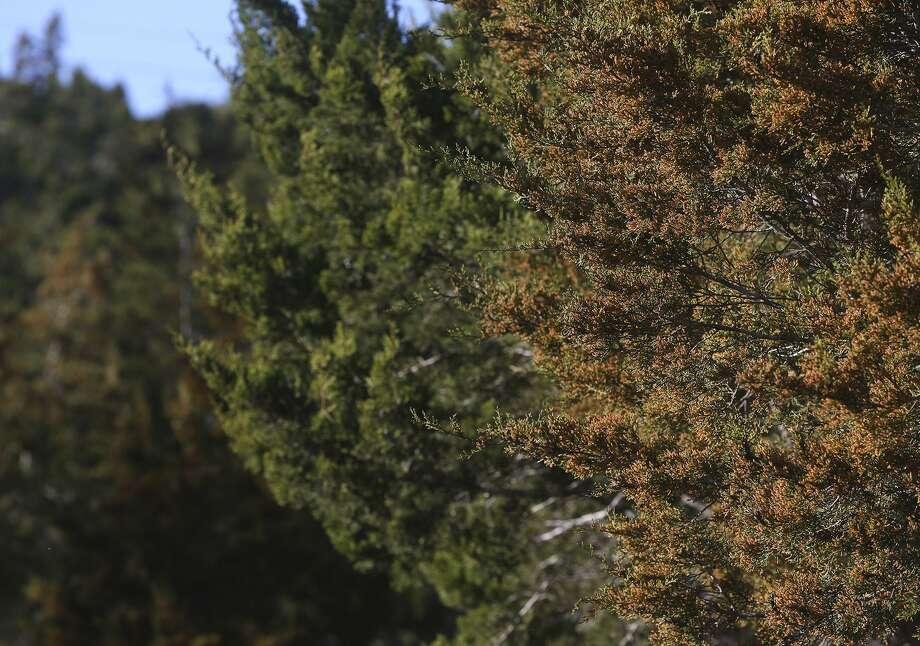 Mountain Cedar: January, February, November and December. Peak in December. Photo: San Antonio Express-News File Photo / San Antonio Express-News