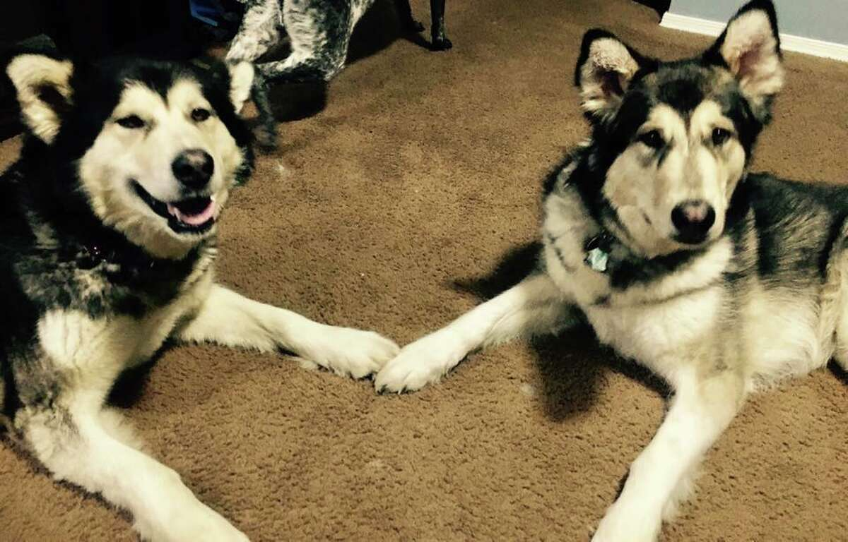 Mollie the Alaskan malamute was missing for four months until she was recently found this weekend in Hemlock. (Photo courtesy of Danielle Balzer)