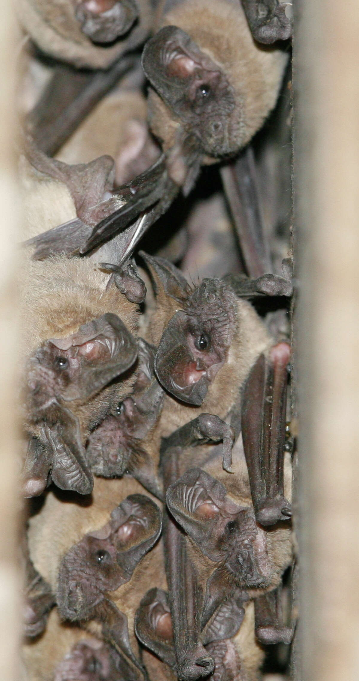 Before Harvey, hundreds of thorusands of Mexican free-tailed bats lived under the Waugh Drive bridge.