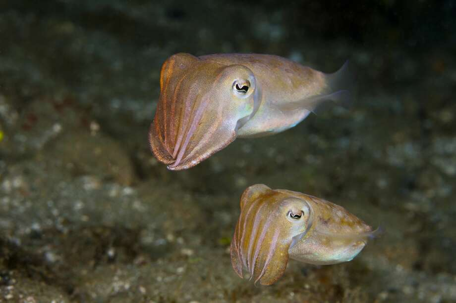 After presenting evidence of rising abundance of cephalopods like cuttlefish, researchers suggested that the ultimate cause of these gains may be us humans. Photo: Reinhard Dirscherl / Getty Images