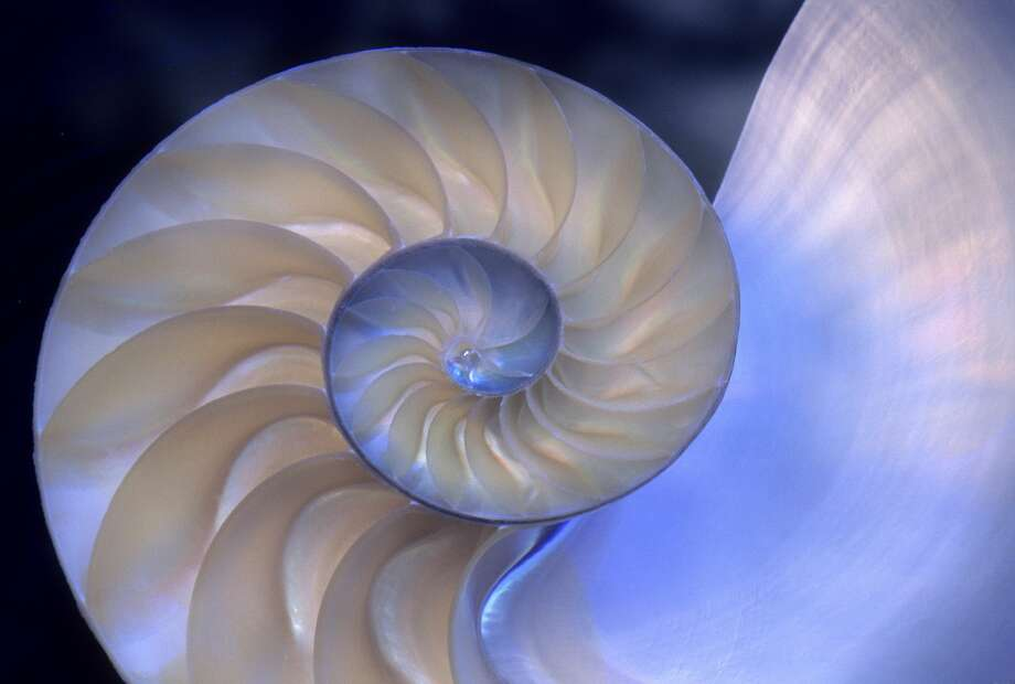 Pearly nautiluses, last of the shell-dwelling cephalopods, grow slowly and have few babies. Photo: Wild Horizon / UIG / Getty Images