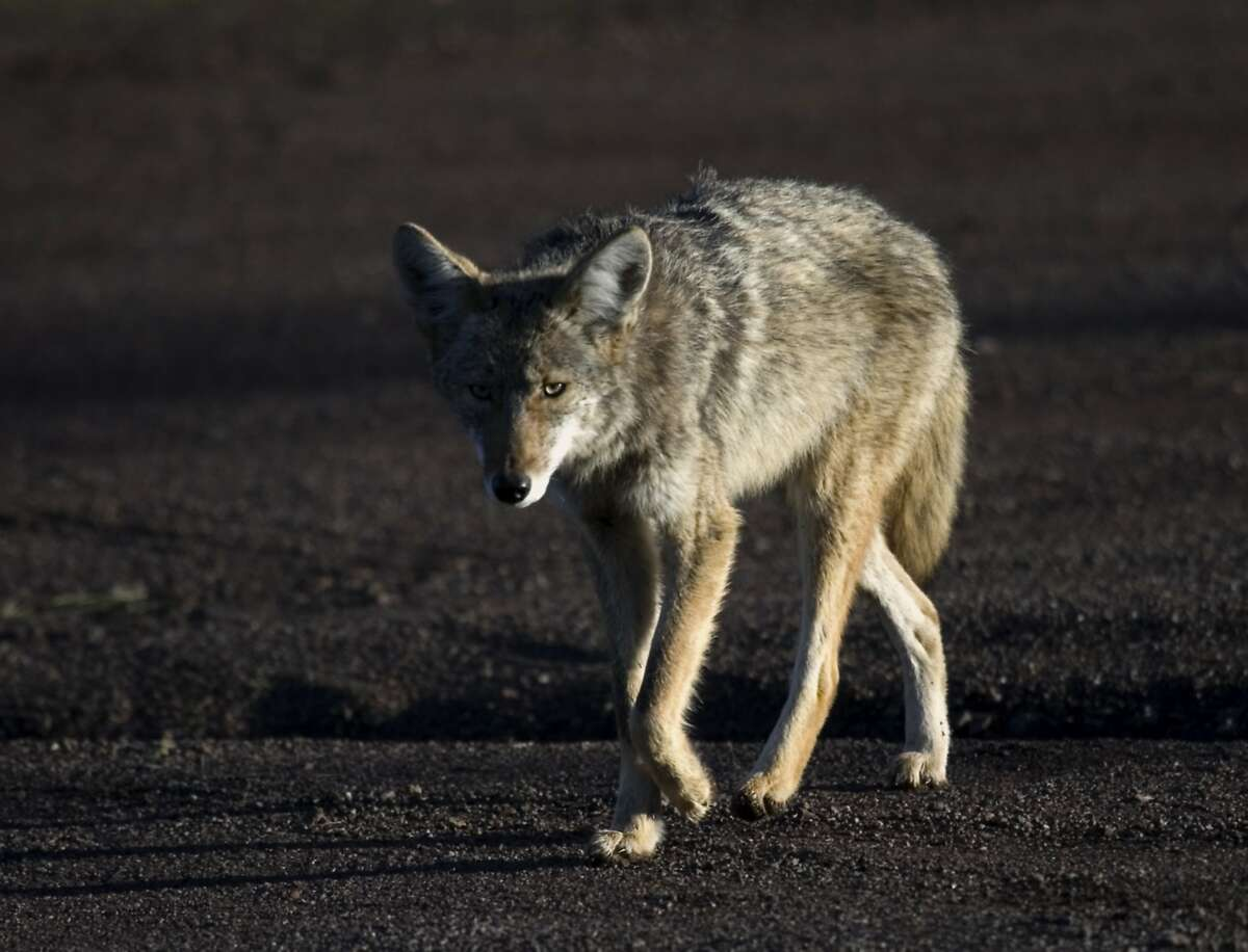A file photo of a coyote. Moraga officials are seeking a coyote who bit a child on Tuesday morning.