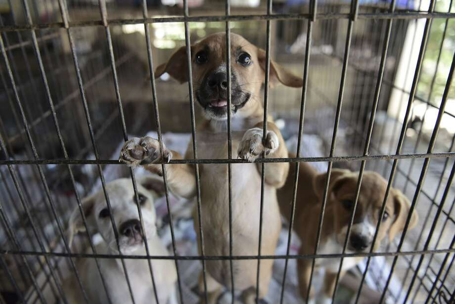 Puppies stand in a cage at the Canita Sanctuary, which houses hundreds of abandoned dogs and cats in Guayama on the Caribbean coast of Puerto Rico. Photo: Carlos Giusti, Associated Press