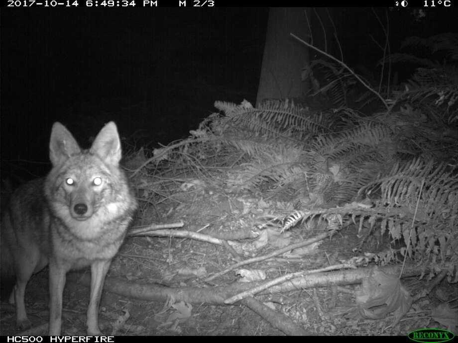 Seattle University biology Professor Mark Jordan set up cameras in public green spaces around Seattle to document urban predators like coyotes, opossums and raccoons. Photo: Courtesy Mark Jordan
