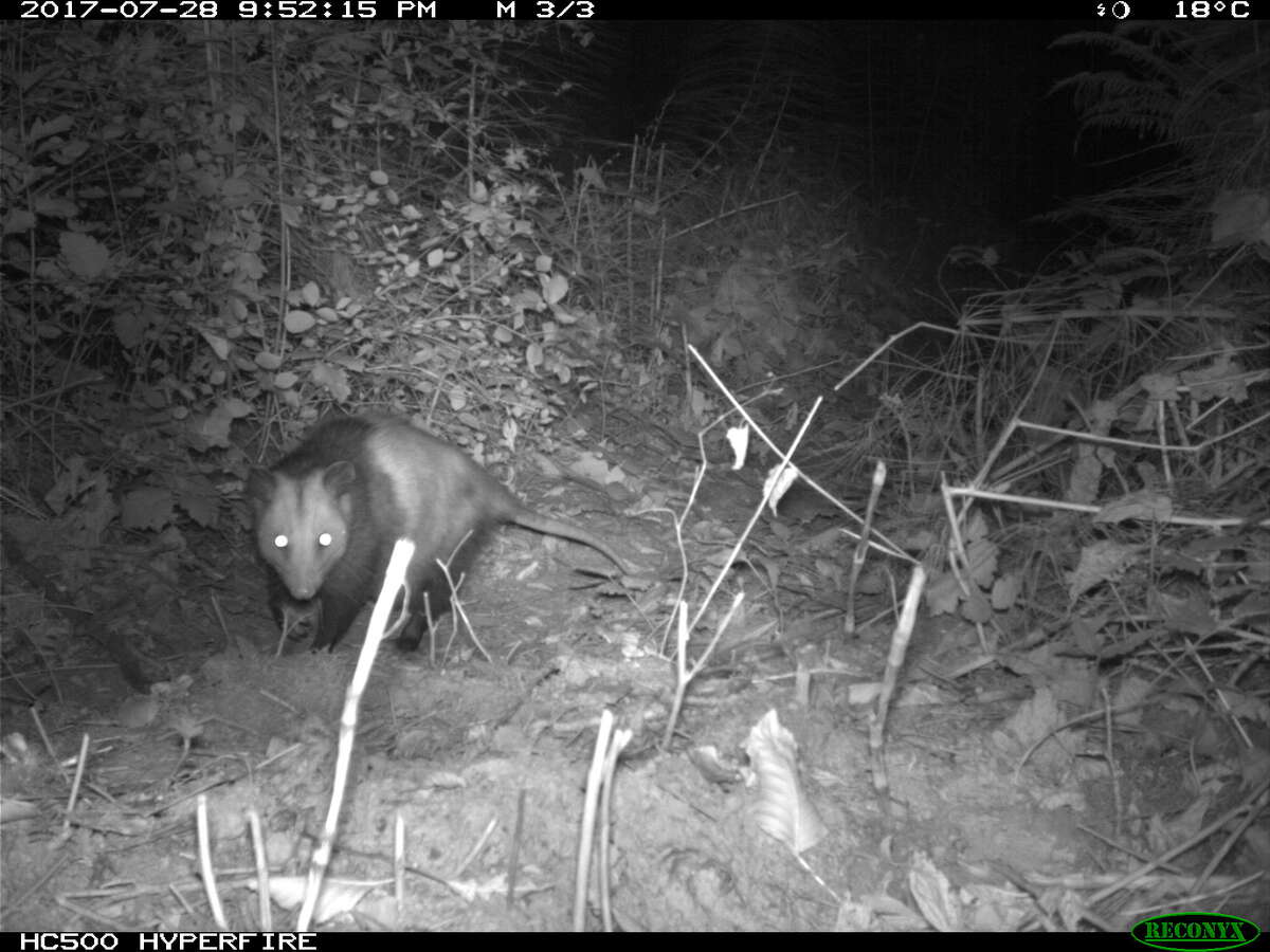 Seattle University biology Professor Mark Jordan set up cameras in public green spaces around Seattle to document urban predators like coyotes, opossums and raccoons.