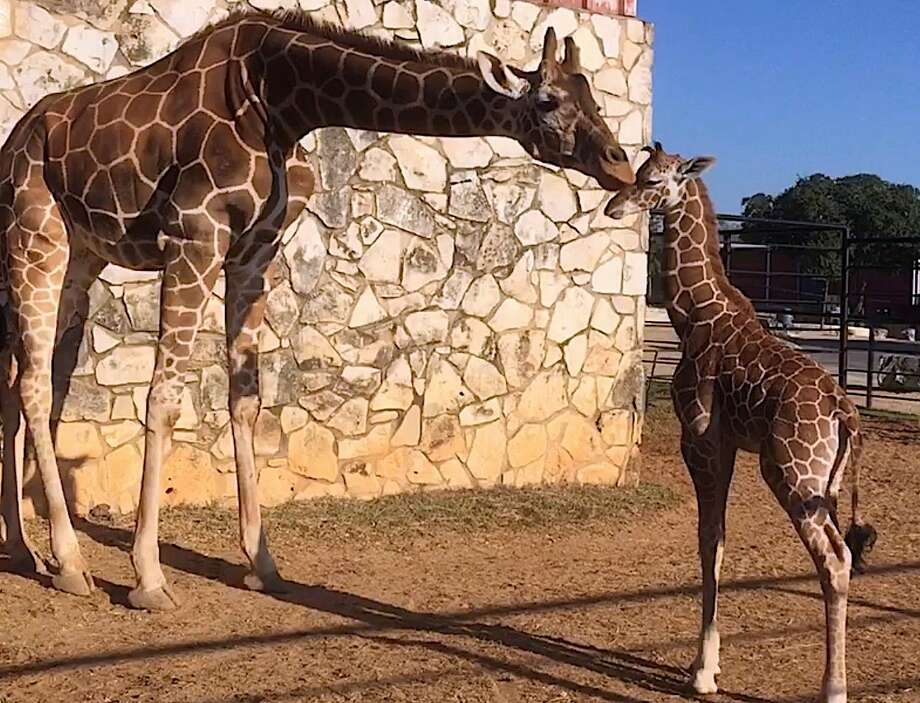 The Natural Bridge Wildlife Ranch is reopening its drive-thru safari after being temporarily closed for more than a month due to the coronavirus pandemic. Photo: Courtesy/Natural Bridge Wildlife Ranch