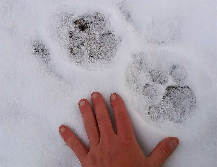 A large mountain lion paw print,�roughly 41/2 inches long, 3 inches wide, was found in the fresh snow -- a print this large could be from a mountain lion that is 8 feet long, from nose to tip of tail