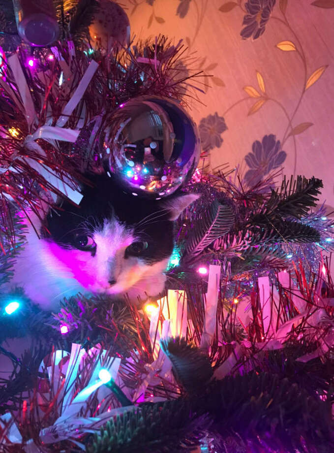 'Tis the season for cats climbing inside Christmas trees. Photo: Twitter/@john_munn