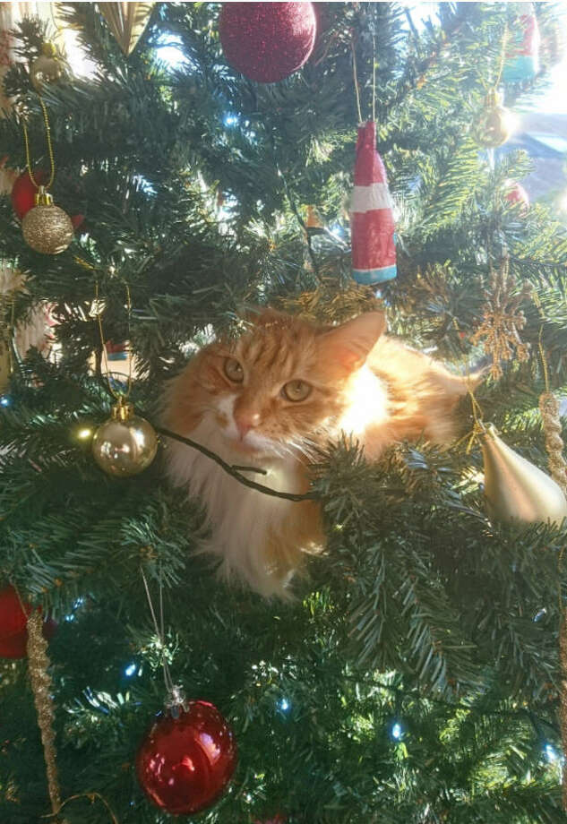 'Tis the season for cats climbing inside Christmas trees. Photo: Twitter/@SimonGuy64