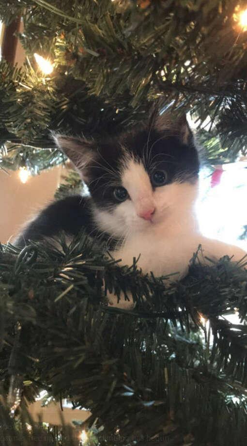 'Tis the season for cats climbing inside Christmas trees. Photo: Twitter/@kaipistols