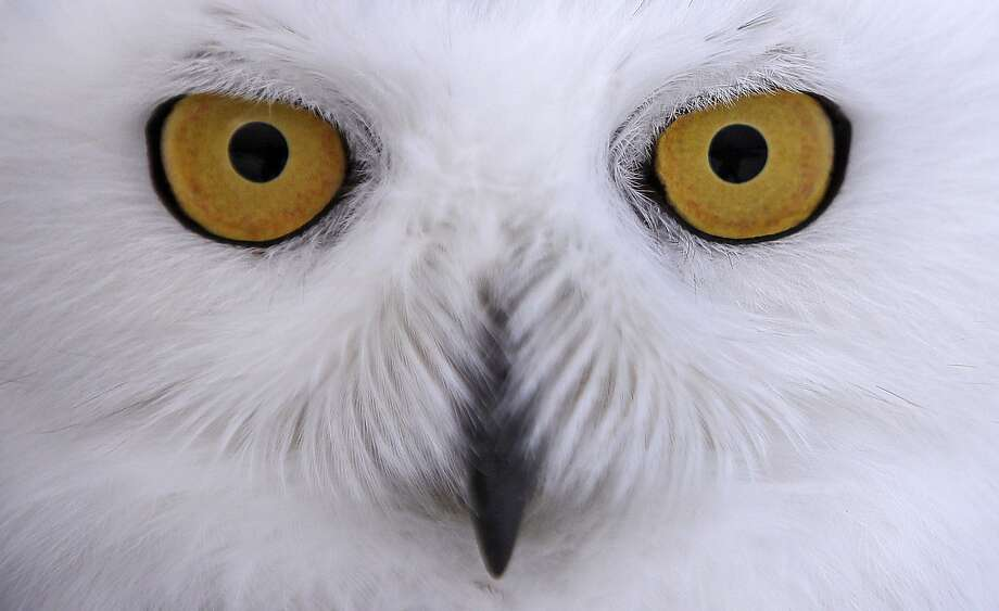 The vulnerable Arctic snowy owls can grow to about 2 feet long with 5-foot wingspans. Photo: Charles Krupa, Associated Press