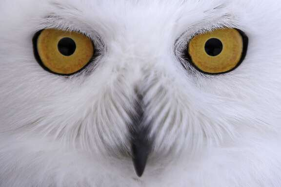 In this Dec. 14, 2017 photo a snowy owl stares prior being released along the shore of Duxbury Beach in Duxbury, Mass. The owl is one of 14 trapped so far this winter at Boston's Logan Airport and moved to the beach on Cape Cod Bay. The large white raptors from the Arctic have descended on the northern U.S. in huge numbers in recent weeks, giving researchers opportunities to study them. (AP Photo/Charles Krupa)