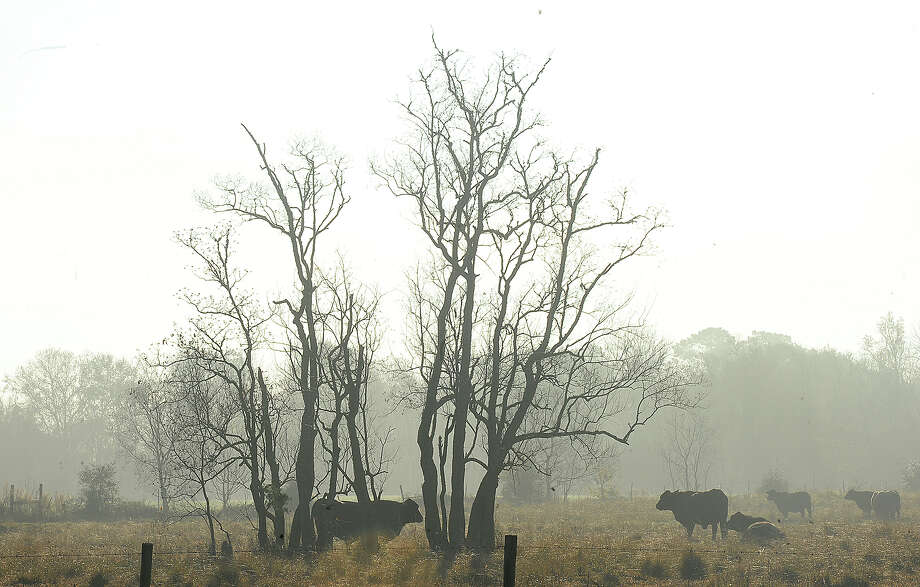 Cattle graze in an open field along FM 105 in Orange as the last remnants of an early morning fog burn off Thursday. Photo taken Thursday, December 21, 2017 Kim Brent/The Enterprise Photo: Kim Brent / BEN