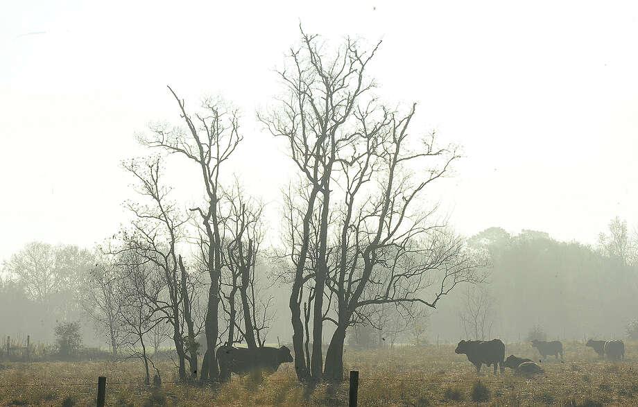 Cattle graze in an open field along FM 105 in Orange as the last remnants of an early morning fog burn off Thursday. Photo taken Thursday, December 21, 2017 Kim Brent/The Enterprise Photo: Kim Brent / BEN