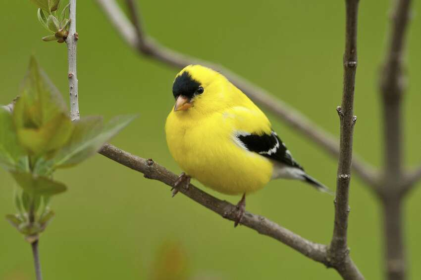 State bird: American goldfinch This was a tough one for the Washington State Legislature; they struggled with the adoption of an official state bird for more than 23 years, beginning in 1928. That was when the first of the three campaigns were produced to decide on an appropriate bird to represent Washington state. They went to Washington school children and asked what bird they'd nominate, and overwhelmingly the response was the same: Western meadowlark. Given that the meadowlark was already officially adopted by seven other states (including Oregon) legislators hoped for something a bit more unique. When another state referendum was sponsored in 1931, the American goldfinch managed to do well against other birds -- but 20 years and two state-wide contests later, legislators had still not approved any official bird in 1951. They turned once again to the school children and this time the goldfinch was unanimously selected (with Legislature's official and final approval) against the meadowlark.