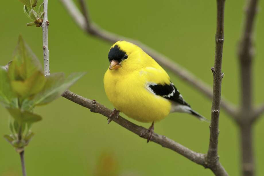State bird: American goldfinch