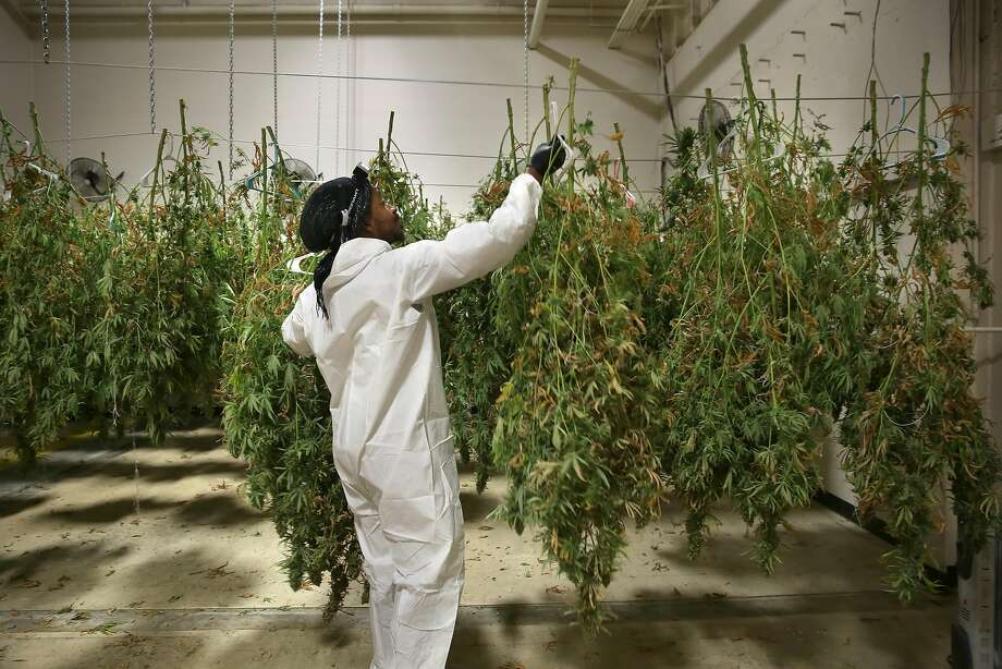 Jahful Price hangs cannabis plants to dry at NUG's warehouse in East Oakland. Price is on a paid internship at NUG and getting hands-on experience in cannabis cultivation. Photo: Liz Hafalia, The Chronicle