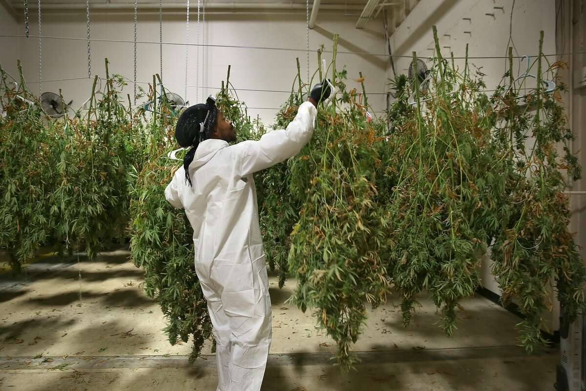 Jahful Price, 31 years old, nephew of Charles Byrd of Nine Mile Tribe hangs premium Jack to dry at Bloom Innovations, a horticulture consulting and management firm distributing cannabis products � seeds, flowers, concentrates, infused edibles and more � under the brand name NUG, a Bloom subsidiary on Wednesday, December 13, 2017, in Oakland, CA.