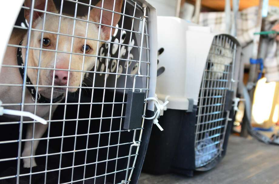Forty-five dogs, cats, rabbits and guinea pigs were welcomed by Marin Humane this week from the Ventura County Animal Shelter. The Southern California rescue was making room for pets displaced by the massive Thomas Fire, and transferred almost four dozen adoptable pets to the North Bay. Photo: Courtesy Of Marin Humane