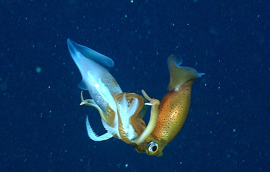 Many deep-sea squids are cannibalistic. This photograph shows a Gonatus berryi squid (right) in the process of consuming another squid of the same species (left). For more information, see: https://www.mbari.org/cannibalism-in-the-deep-sea/ Photo: © 2016 MBARI