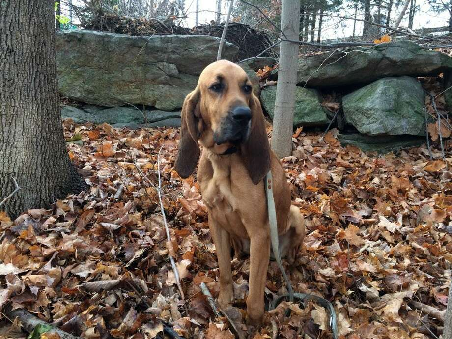 In this undated photo provided by State Police is search-and-rescue bloodhound, Texas. The dog has been found after running from his handler during a search party Wednesday evening that was looking for a man with autism who was missing in the woods near Wooster Mountain. Photo: Associated Press / Connecticut State Police