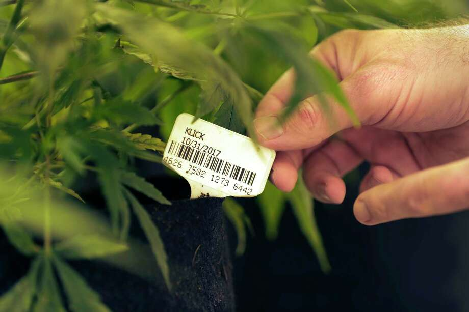 Marijuana plants named for state Rep. Stephanie Klick, are seen in a flowering room under sodium grow lights at Compassionate Cultivation, a licensed medical cannabis cultivator and dispensary, Thursday, Dec. 14, 2017, in Manchaca, Texas. Klick, a Christian conservative who is staunchly anti-legalization and didn't support expanding her law this spring, said it took her 18 months to round up enough votes in the Legislature and convince skeptics that patients weren't going to abuse a product that is set at one of the lowest doses for cannabis oil in the country.Scroll ahead to learn more about medical marijuana and Texas and the new recreational marijuana laws in California. Photo: Eric Gay, STF / Copyright 2017 The Associated Press. All rights reserved.