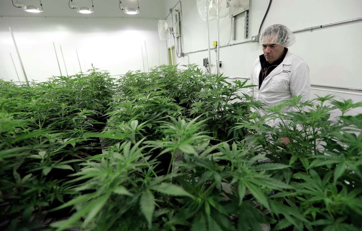 Morris Denton looks over plants at Compassionate Cultivation, a licensed medical cannabis cultivator and dispensary, in Manchaca. It is one of only three dispensaries in Texas.