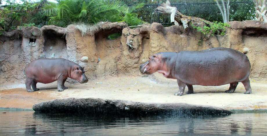 San Antonio Zoo announced the name of its newest hippo who arrived at the zoo in September from ABQ BioPark Zoo in New Mexico. An anonymous donor won the rights to name the two-year-old hippo at this year's Zoobilation Ball and selected the name Timothy, pictured left.  The 1,200-pound juvenile hippo who joined his grandmother, Uma, right, in the Africa Live! exhibit a few months ago has been a hit with guests. Guests have enjoyed watching Timothy explore his surroundings and interact with his grandmother. Photo: Courtesy Of The San Antonio Zoo