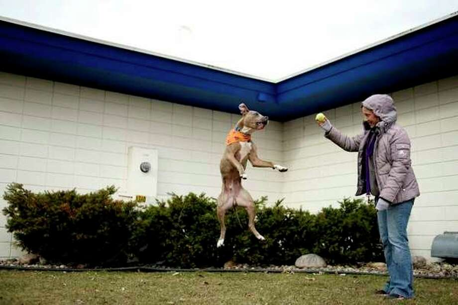 FILE -- Humane Society of Midland animal care technician Nicole Norris, right, prepares to throw the ball to Charleston, a 2-year-old pit bull mix, outside of the animal shelter on East Ashman.