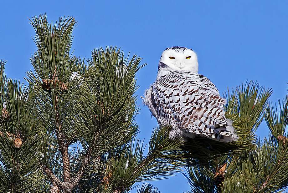This snowy owl was spotted watching traffic pass by on a country road at Fish Point Wildlife Area recently. (Bill Diller/For the Tribune)