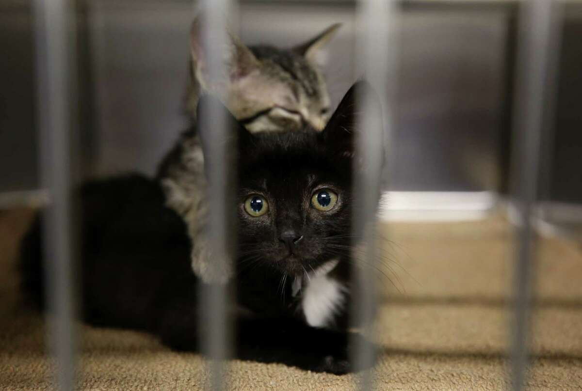 Louie, top, naps on Tex as both kitten wait in a kennel to get fixed at the BARC Animal Shelter & Adoptions Monday, Dec. 18, 2017, in Houston.