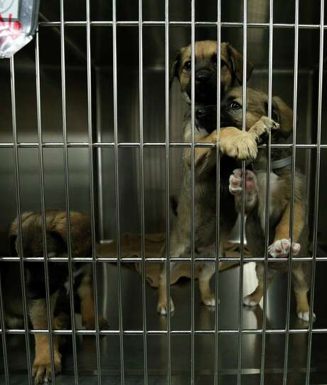 Sibling puppies Dallas, left right, Dream and Dolly wait in a kennel to get fixed at the BARC Animal Shelter & Adoptions Monday, Dec. 18, 2017, in Houston. Photo: Godofredo A. Vasquez, Houston Chronicle / Godofredo A. Vasquez