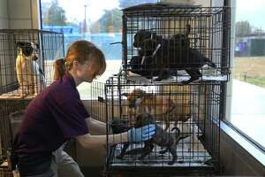 Animal Care Technician Christina Stowe grabs two recently adopted puppies to get fixed at the BARC Animal Shelter & Adoptions Monday, Dec. 18, 2017, in Houston.