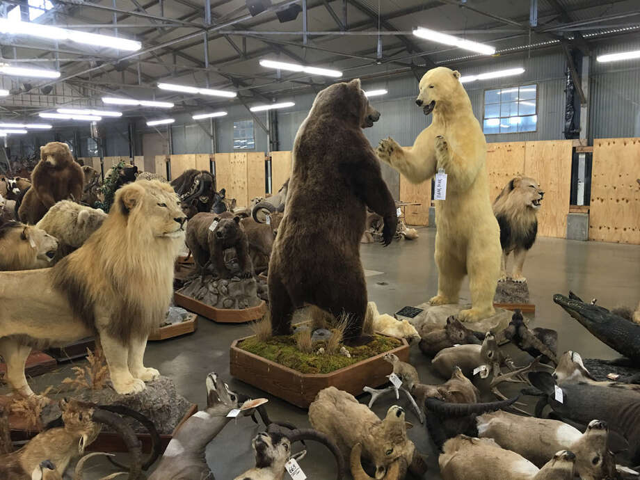 On Saturday, Jan. 20 in Houston some 700 pieces of unique taxidermy from five different estates and private collections will be put up for auction. Photo: John Brommel / Taxidermy King