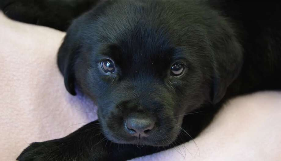 Duckie the puppy was surrendered to the Sacramento SPCA when he was just a few weeks old. Click through the gallery for more California animal stories from 2017. Photo: Sacramento SPCA