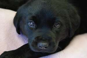 Duckie the puppy was surrendered to the Sacramento SPCA when he was just a few weeks old.