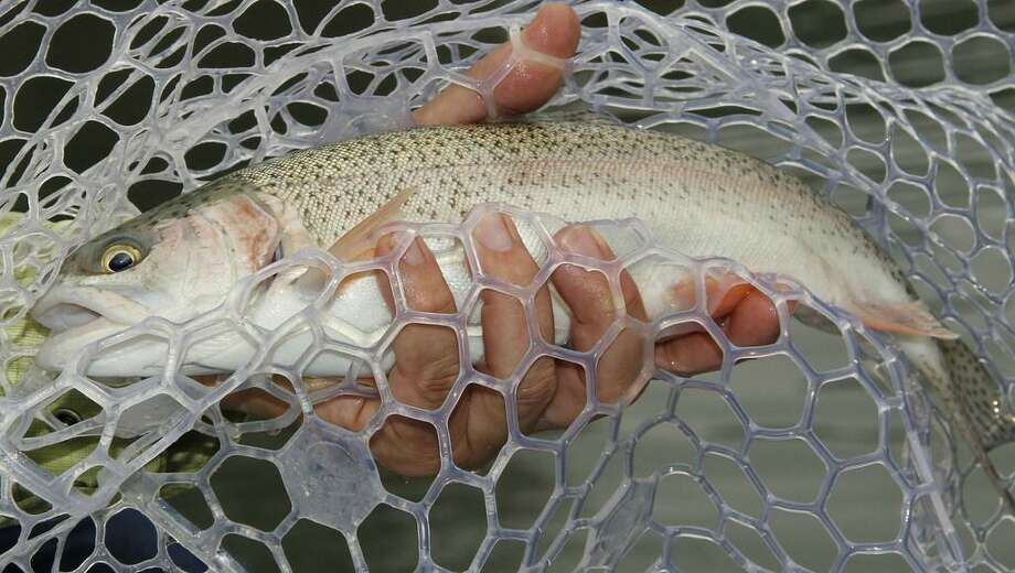 Texas' annual winter stocking of more than 300,000 rainbow trout into 150 public waters, most of them urban park ponds, kicks into high gear this month. The put-and-take fishery is hugely popular with the state's anglers. Photo: Courtesy Texas Parks And Wildlife Dept. /
