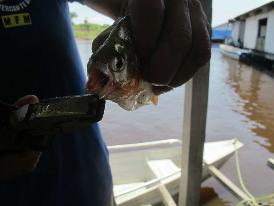 FILE - In this Oct. 11, 2017, file photo, a guide holds a piranha fish caught by a tourist outside of Manaus, Brazil. A favorite activity for tourists is catching fish, taking pictures with them, and then throwing them back. (AP Photo/Peter Prengaman, File) ORG XMIT: NYLS213 Photo: Peter Prengaman / Copyright 2017 The Associated Press. All rights reserved.